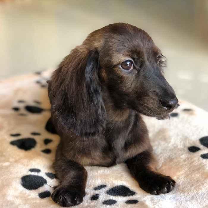 longhair miniature dachshund puppy for sale in dubai
