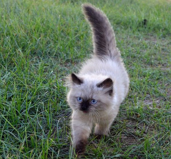 himalayan kitten for sale in dubai