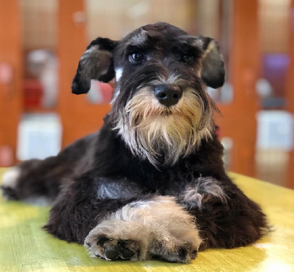 Mini Schnauzer puppy for sale in Dubai