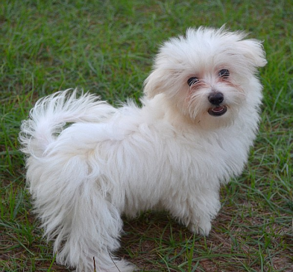 Maltese puppy for sale in dubai