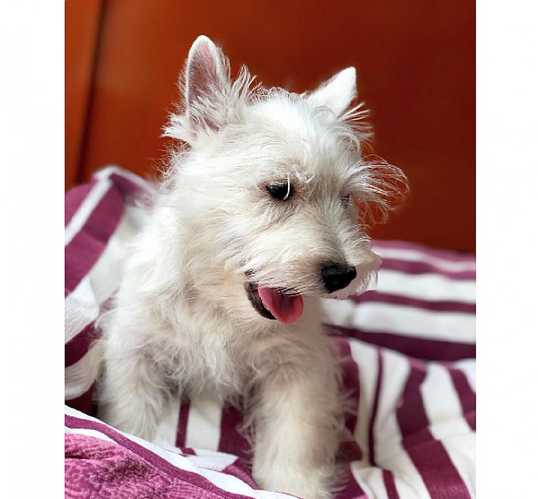 Westie puppy for sale in Dubai