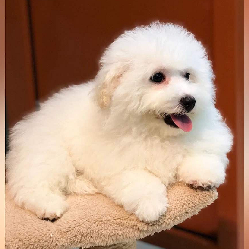 bichon frise puppies for sale in dubai