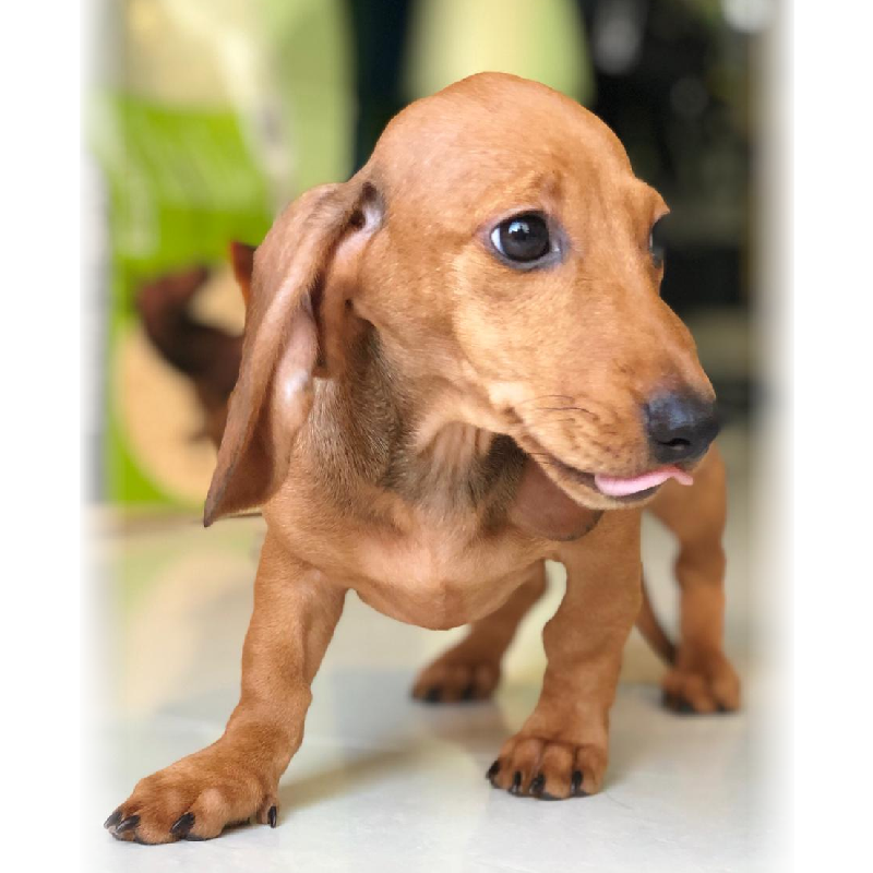 miniature dachshund puppy for sale in abu dhabi