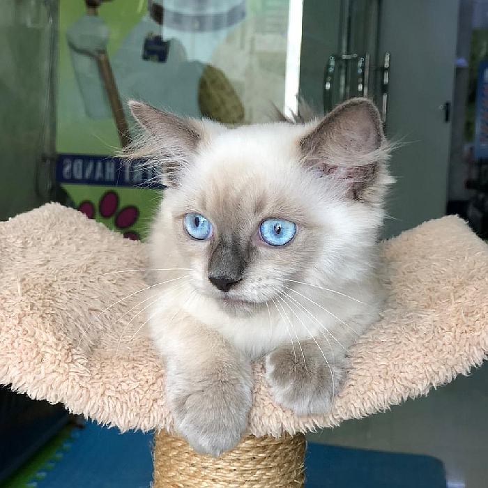 ragdoll kitten for sale in uae