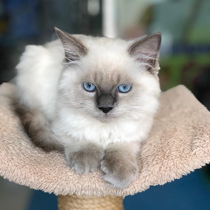 ragdoll kittens for sale in abu dhabi