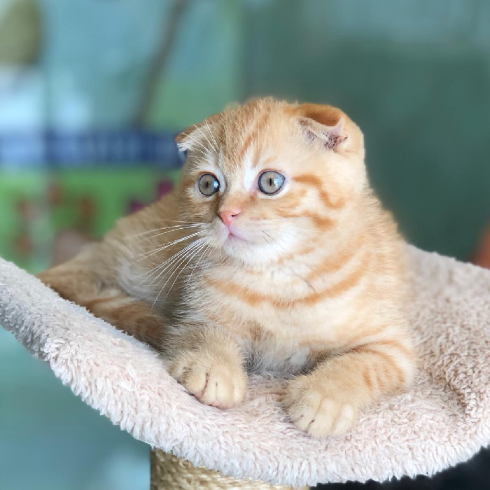 scottish fold kitten for sale in dubai