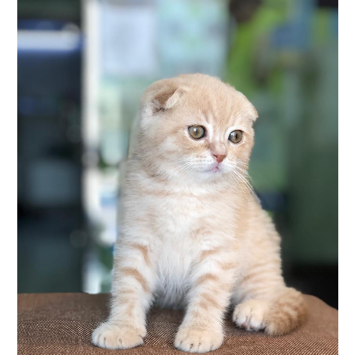 scottish fold kitten for sale in uae
