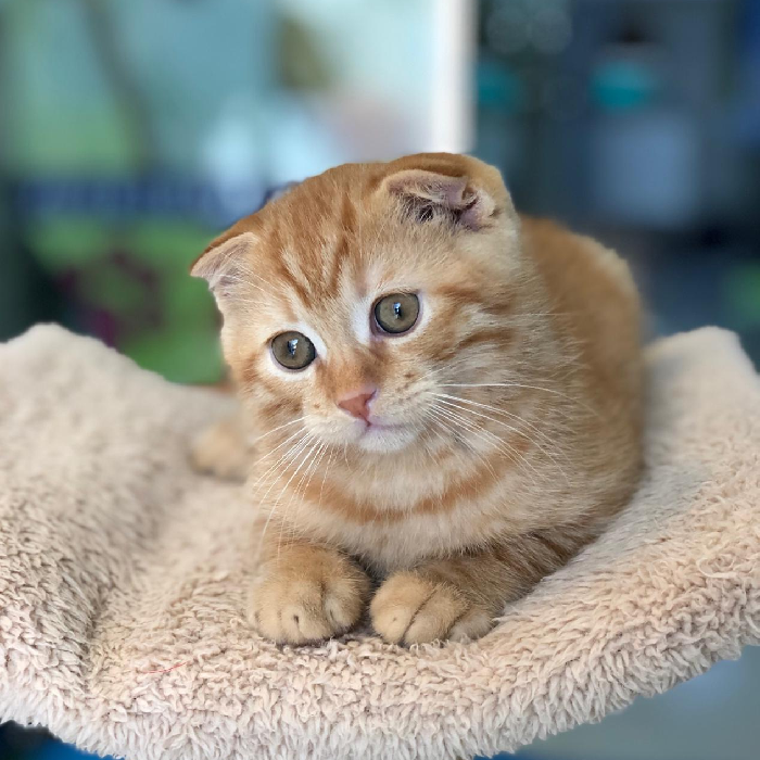 scottish fold kitten in abu dhabi uae