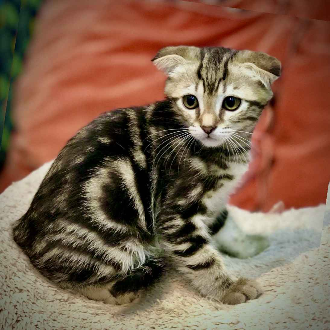 scottish fold kittens for sale in abu dhabi uae
