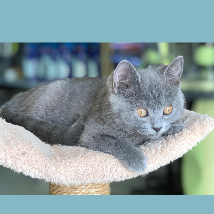 british shorthair kitten for sale in dubai abu dhabi