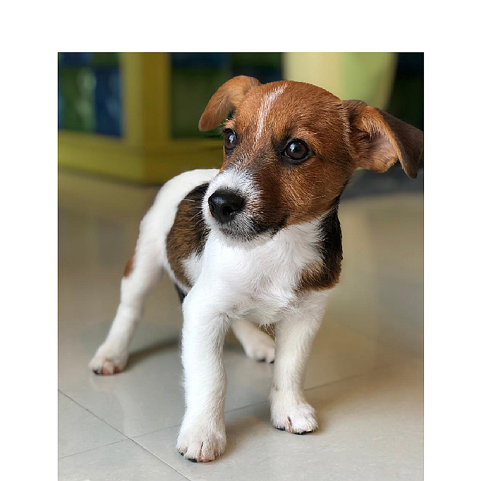 jack russell puppy for sale in abu dhabi