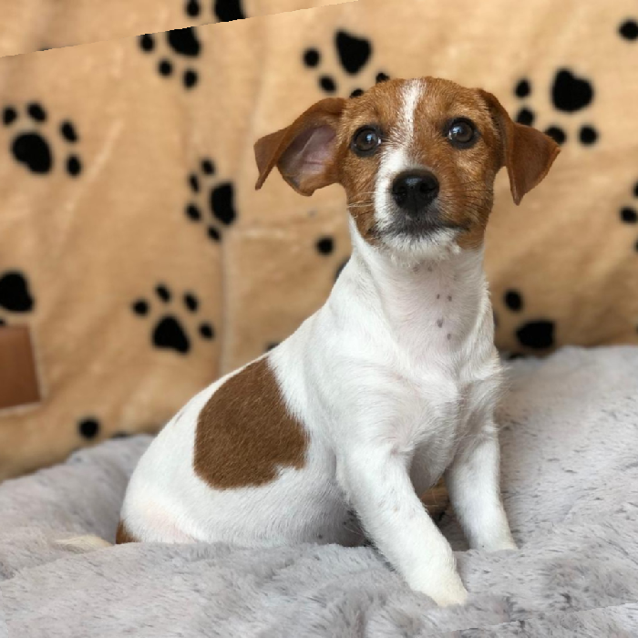 jack russell terrier puppy for sale dubai uae