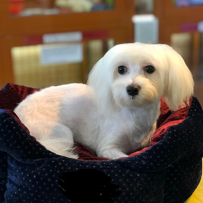 maltese puppy for sale in abu dhabi