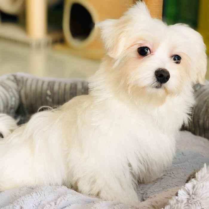 maltese puppy for sale in dubai abu dhabi uae
