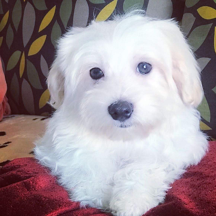 maltese puppy for sale in dubai, abu dhabi uae