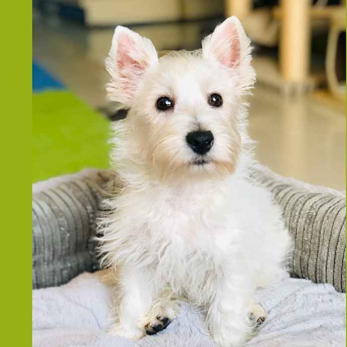 west highland white terrier puppy for sale in uae