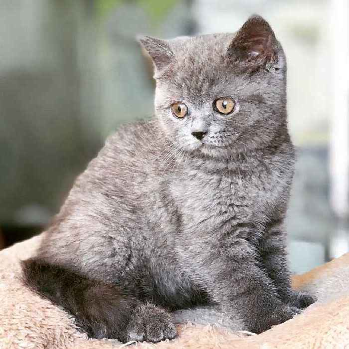 british blue kitten for sale in uae