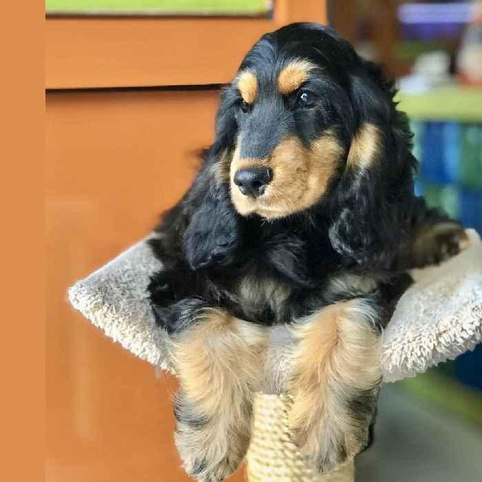 cocker spaniel puppy for sale in abu dhabi uae