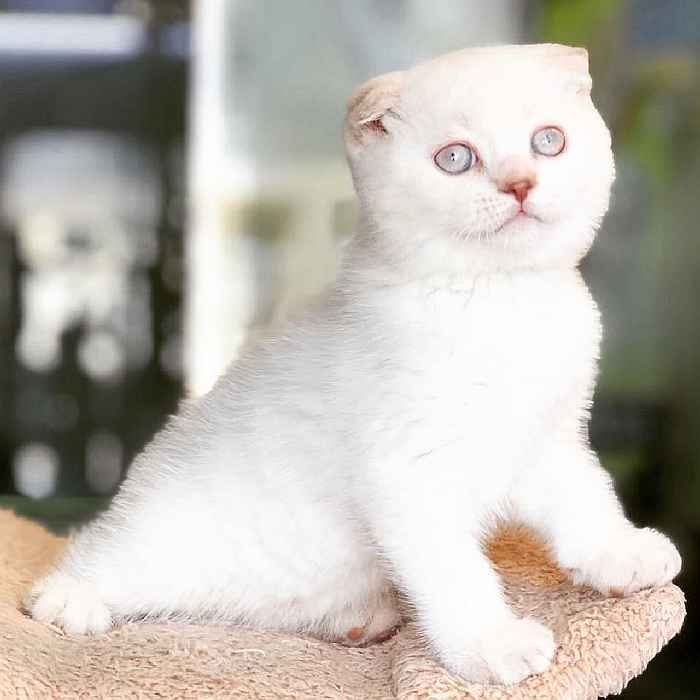 scottish fold kittens for sale in uae