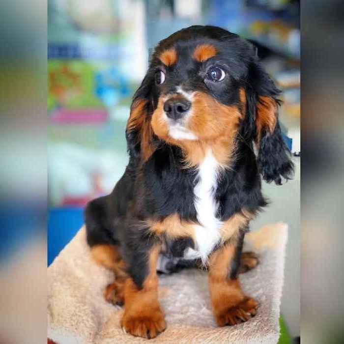 cavalier puppies for sale in dubai