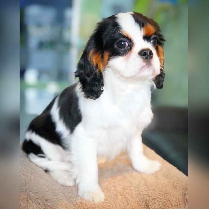 cavalier puppies for sale in dubai