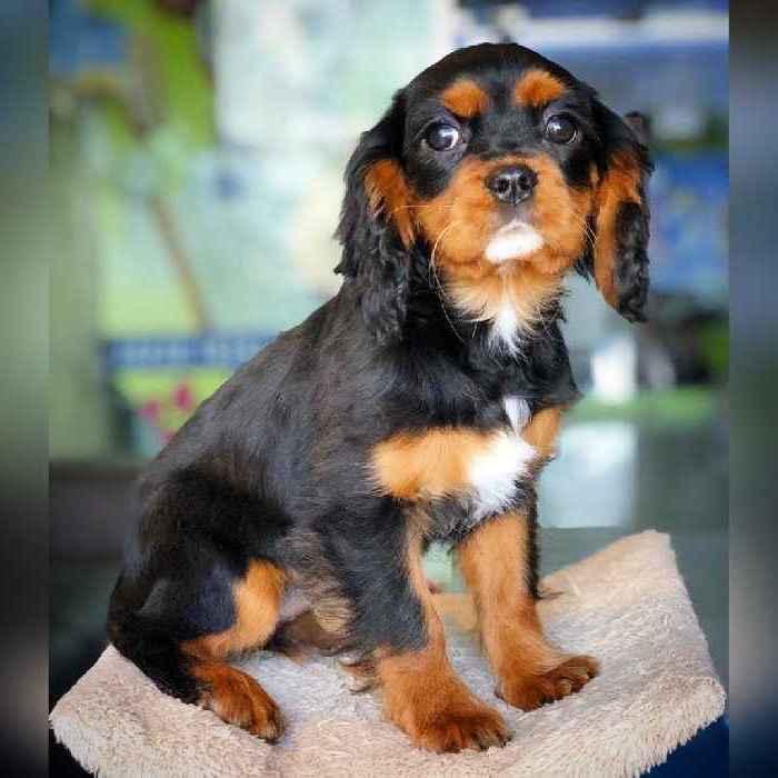 cavalier spaniel puppies for sale in dubai, uae