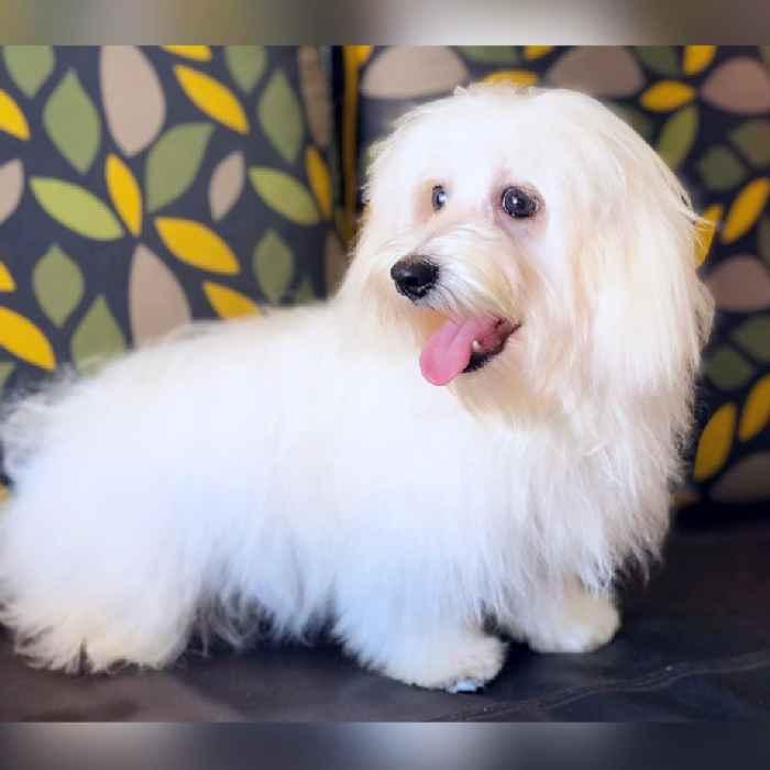 maltese puppies for sale in dubai