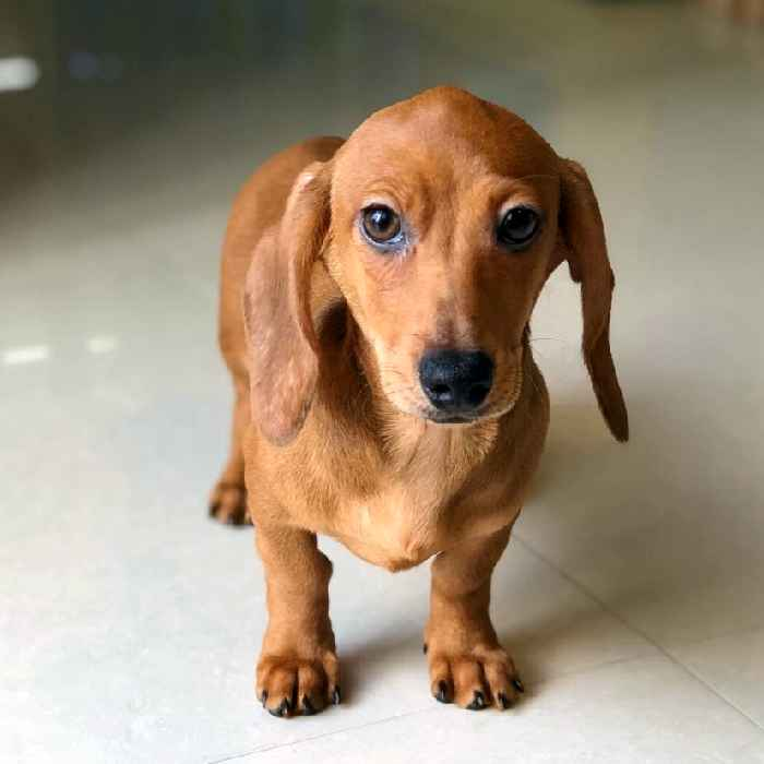 mini dachshund puppies for sale in dubai