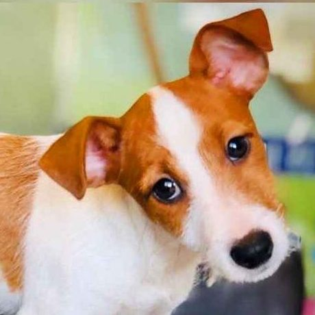 jack russell terrier puppy in uae