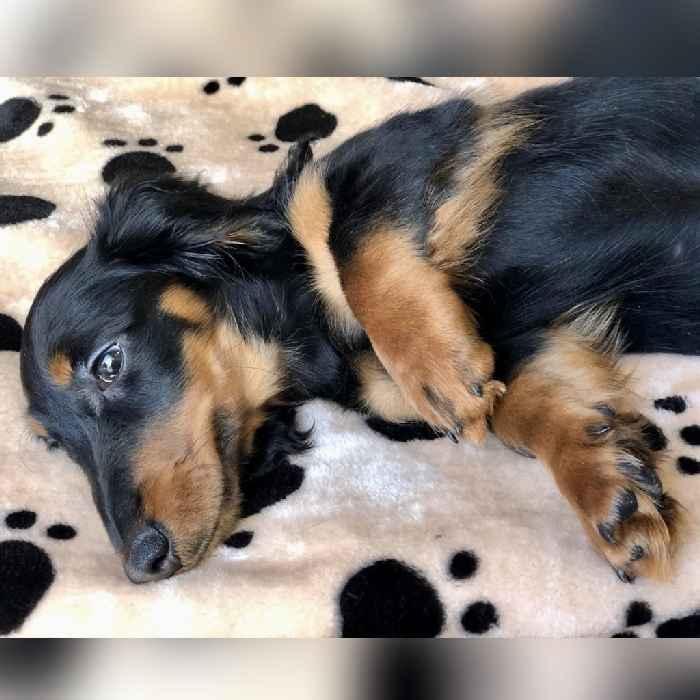 mini dachshund puppy for sale in dubai