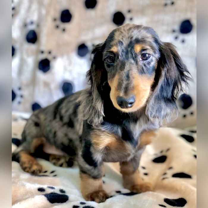 dapple harlequin mini dachshund puppy for sale in dubai abu dhabi uae
