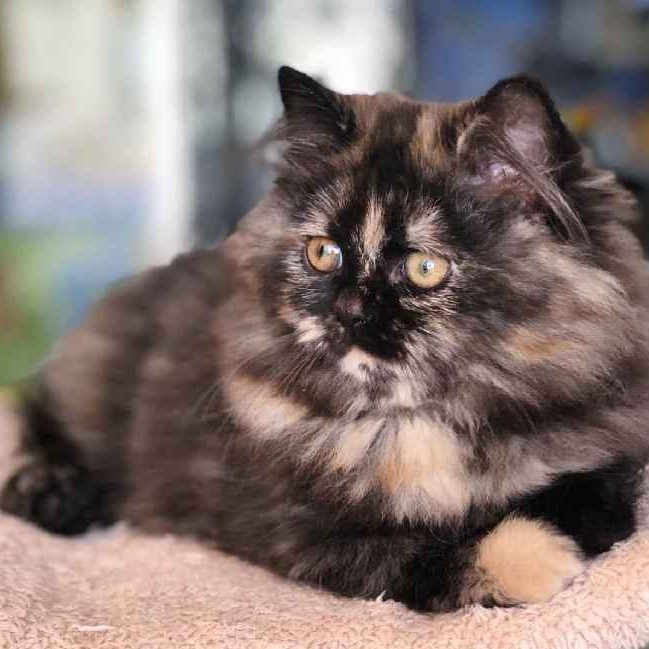 persian kitten for sale in dubai uae abu dhabi