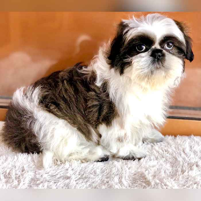 shih tzu puppies for sale in uae