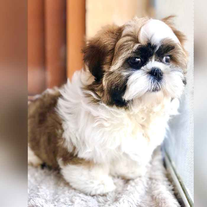 shih tzu puppy for sale in dubai