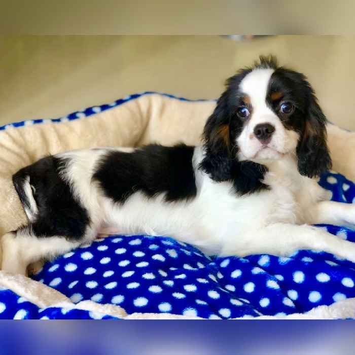 cavalier king charles spaniel puppies for sale in dubai