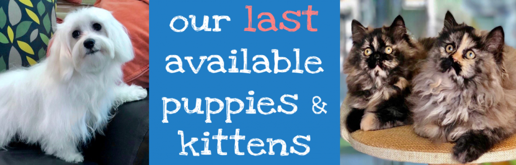 last available puppies for sale kittens for sale in dubai uae