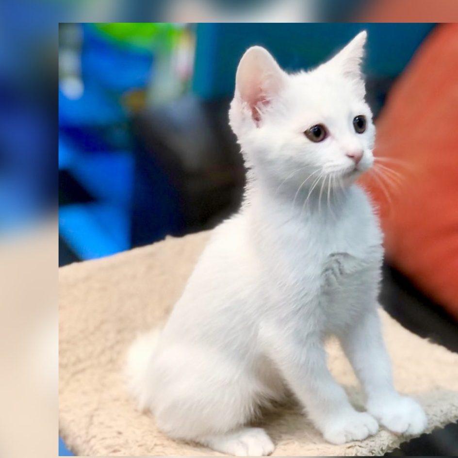 Scottish Straight British Shorthair kitten for sale in dubai