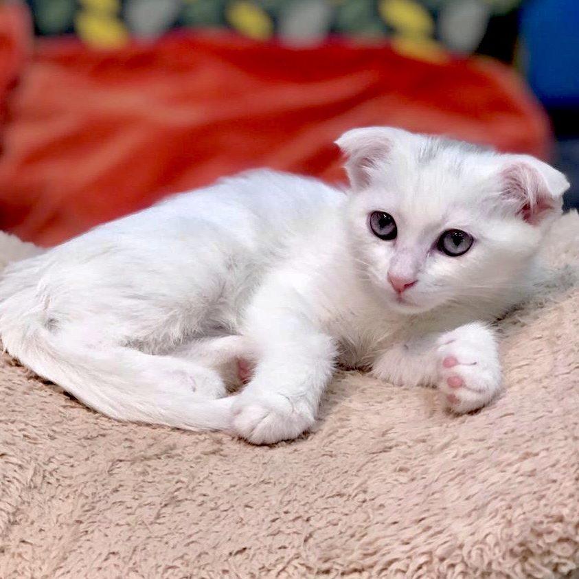 Scottish Fold kittens for sale in dubai uae
