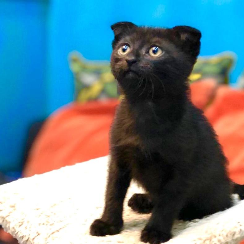 Scottish Fold kitten for sale in dubai