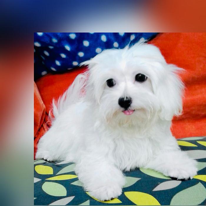 maltese puppy for sale in dubai