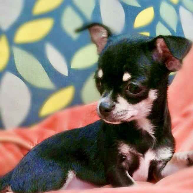 tcup chihuahua for sale in dubai