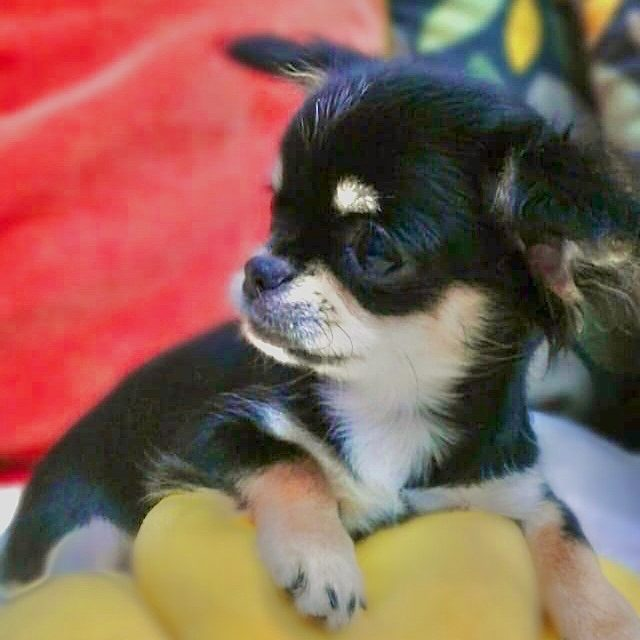 teacup chihuahua puppy for sale in dubai uae