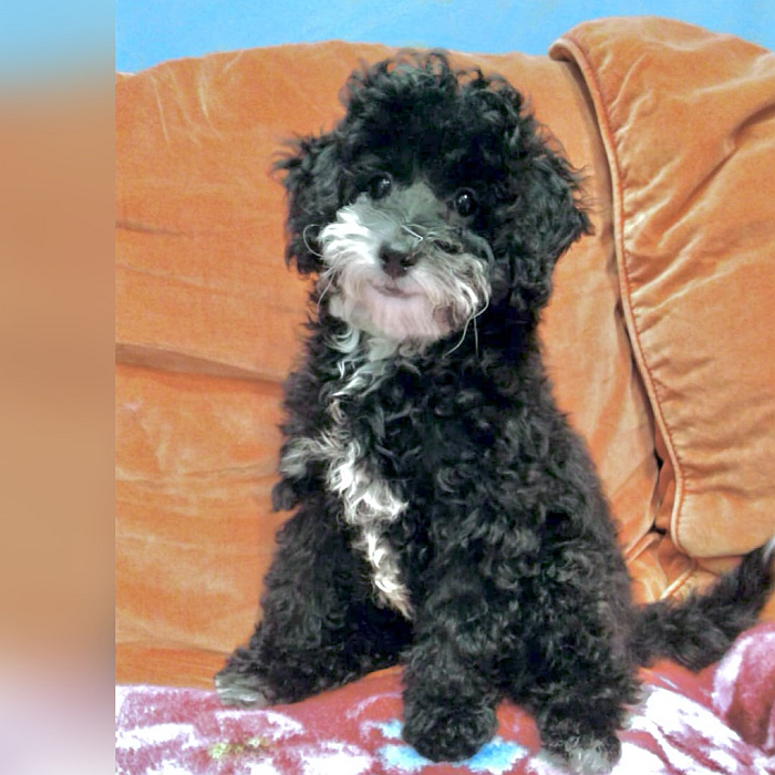 toy poodle puppies for sale in dubai
