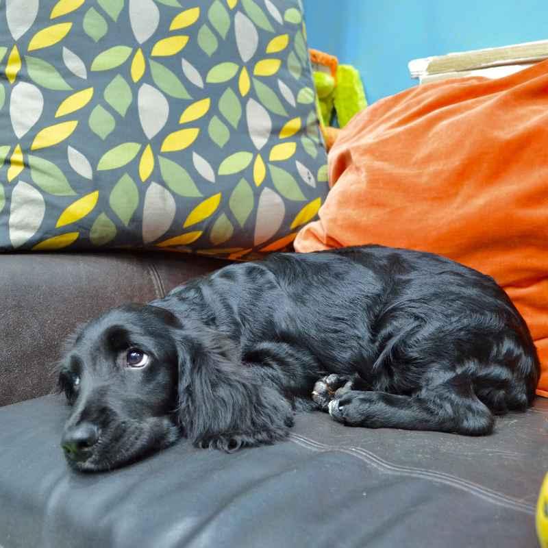 english cocker spaniel puppy for sale in dubai uae