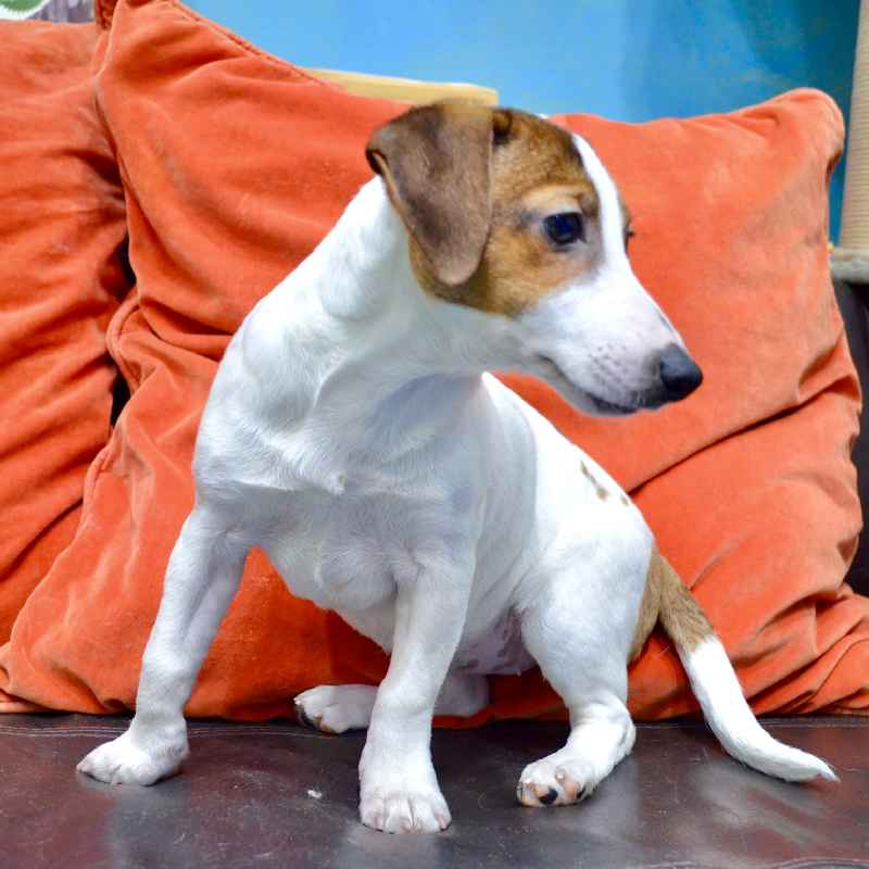 jack russell terrier puppies for sale in uae