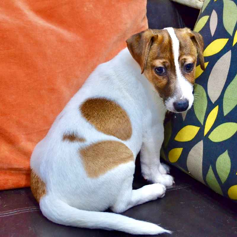jack russell terrier puppy for sale in dubai uae