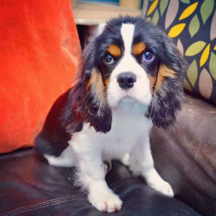 cavalier king charles puppy for sale in dubai