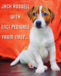jack russell terrier puppies in dubai