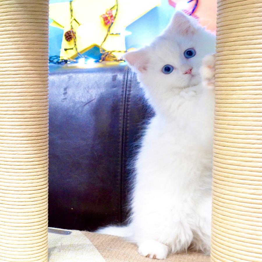 siberian kitten for sale in dubai