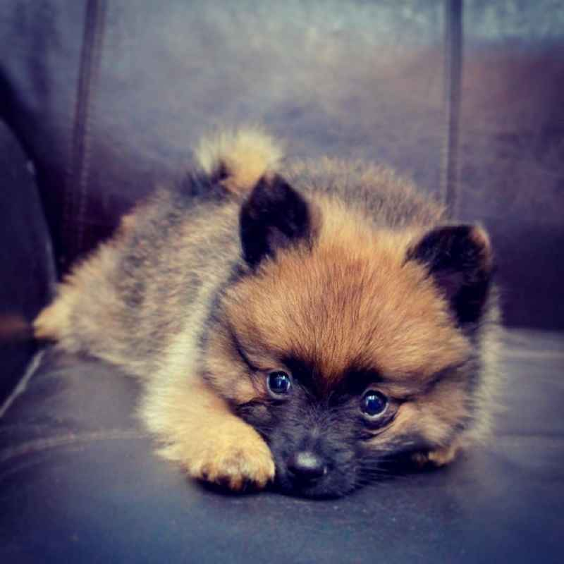 pomeranian puppy for sale in dubai